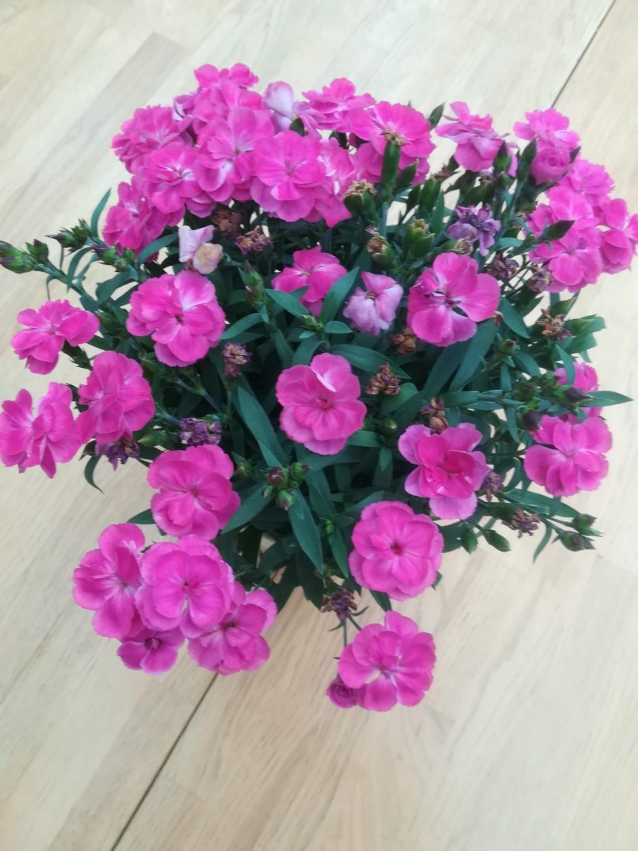 Dianthus-Deborah-Thompson