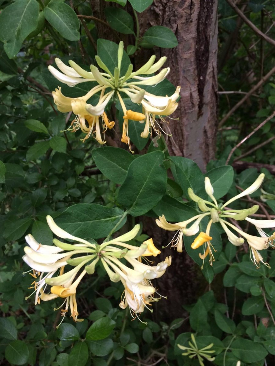 Honeysuckle-Cath-Fletcher