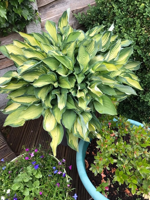 Hosta-Sheena-Wooding