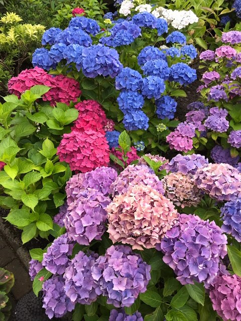 Hydrangeas-Sheila-Power