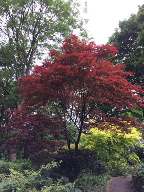 Japanese-Maple-Cath-Fletcher