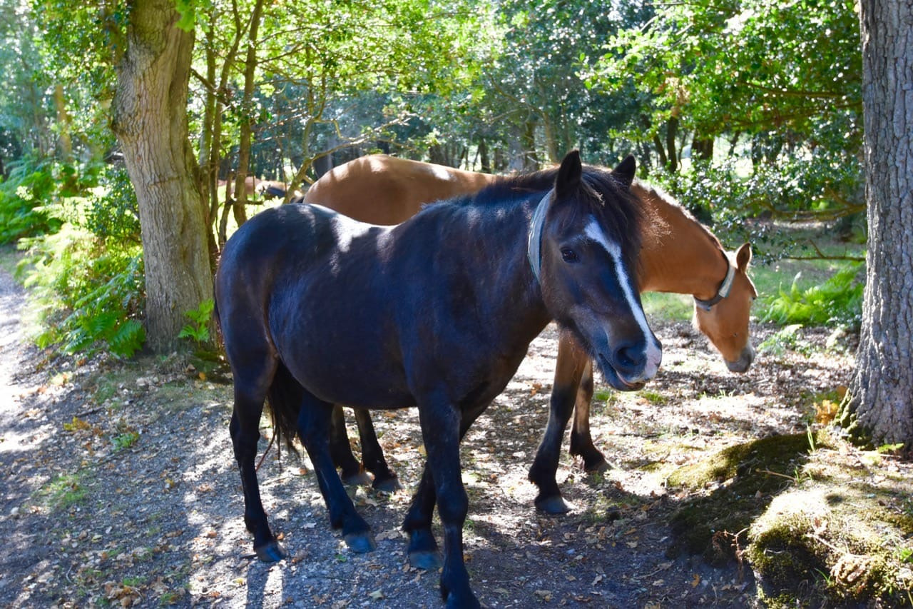 New-Forest-Ponies-Lesley-Winrow