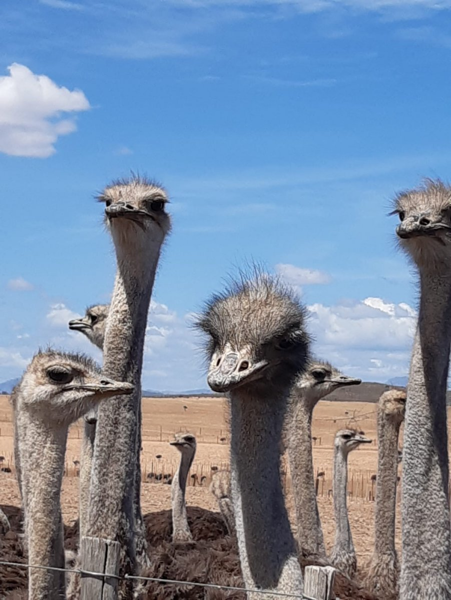 Ostrich-Farm-Sue-Greenhalgh