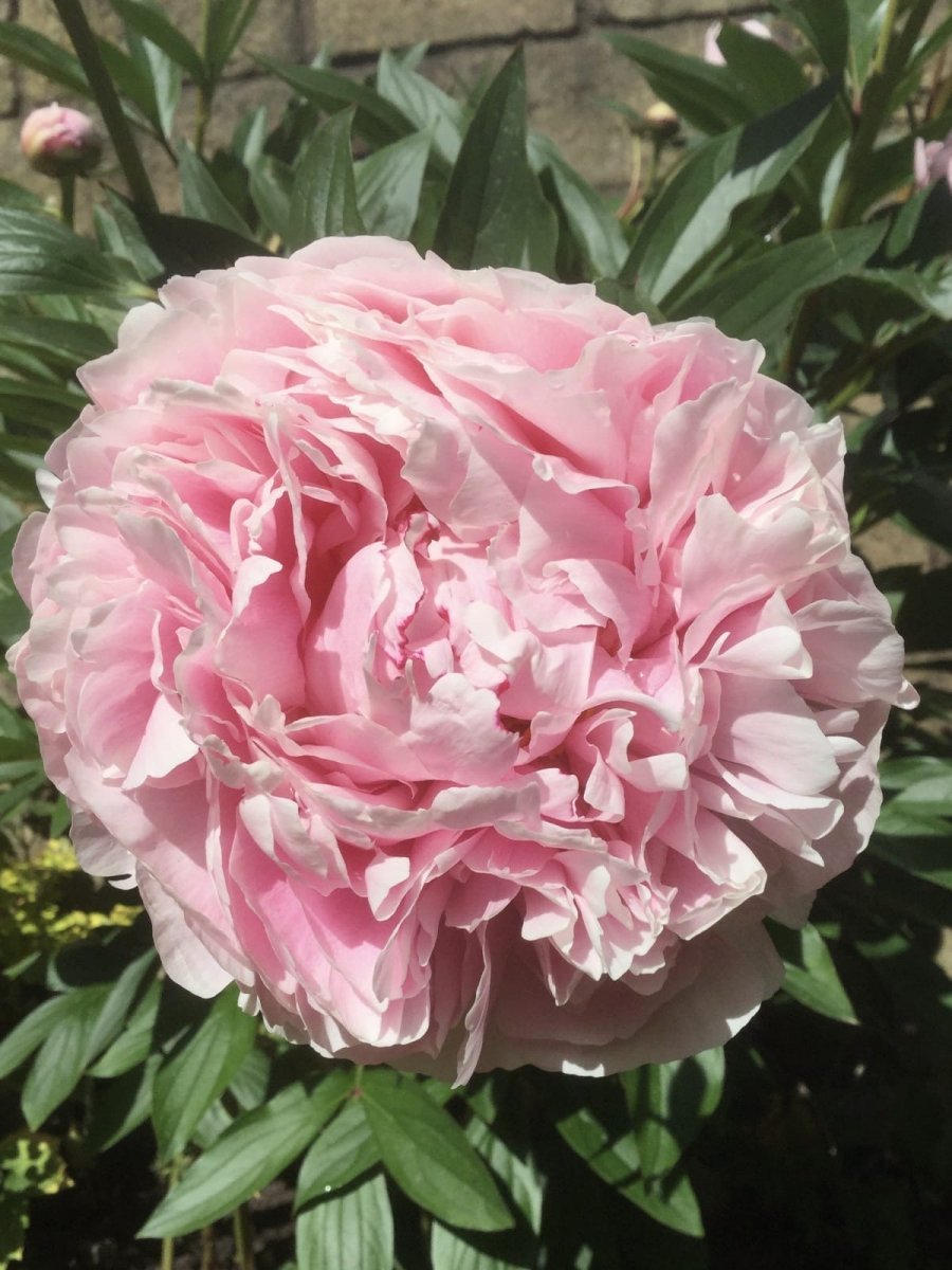 Pink-Peony-Lesley-Winrow