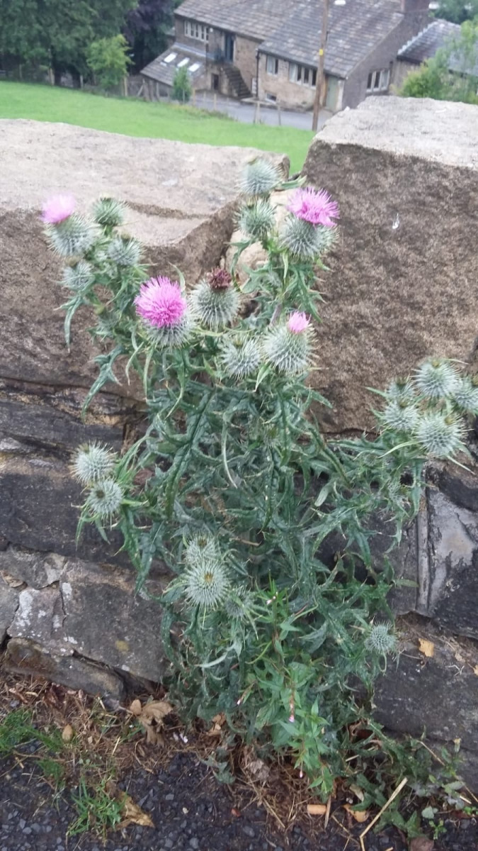 Thistle-Sue-Fleming