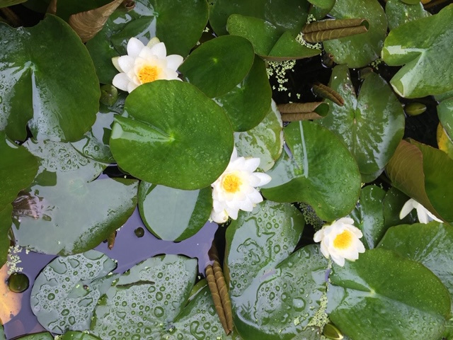 Waterlilies-Pam-Lever