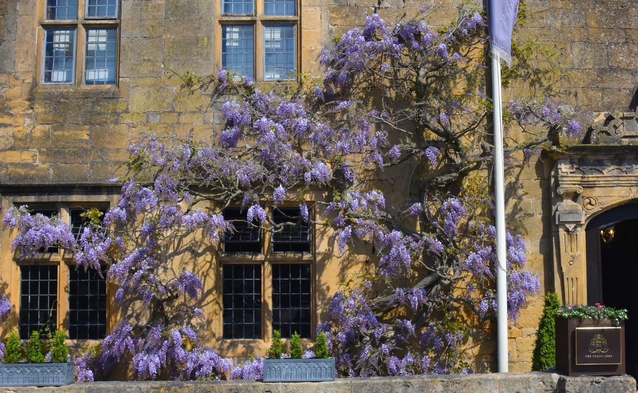 Wisteria-Lesley-Winrow