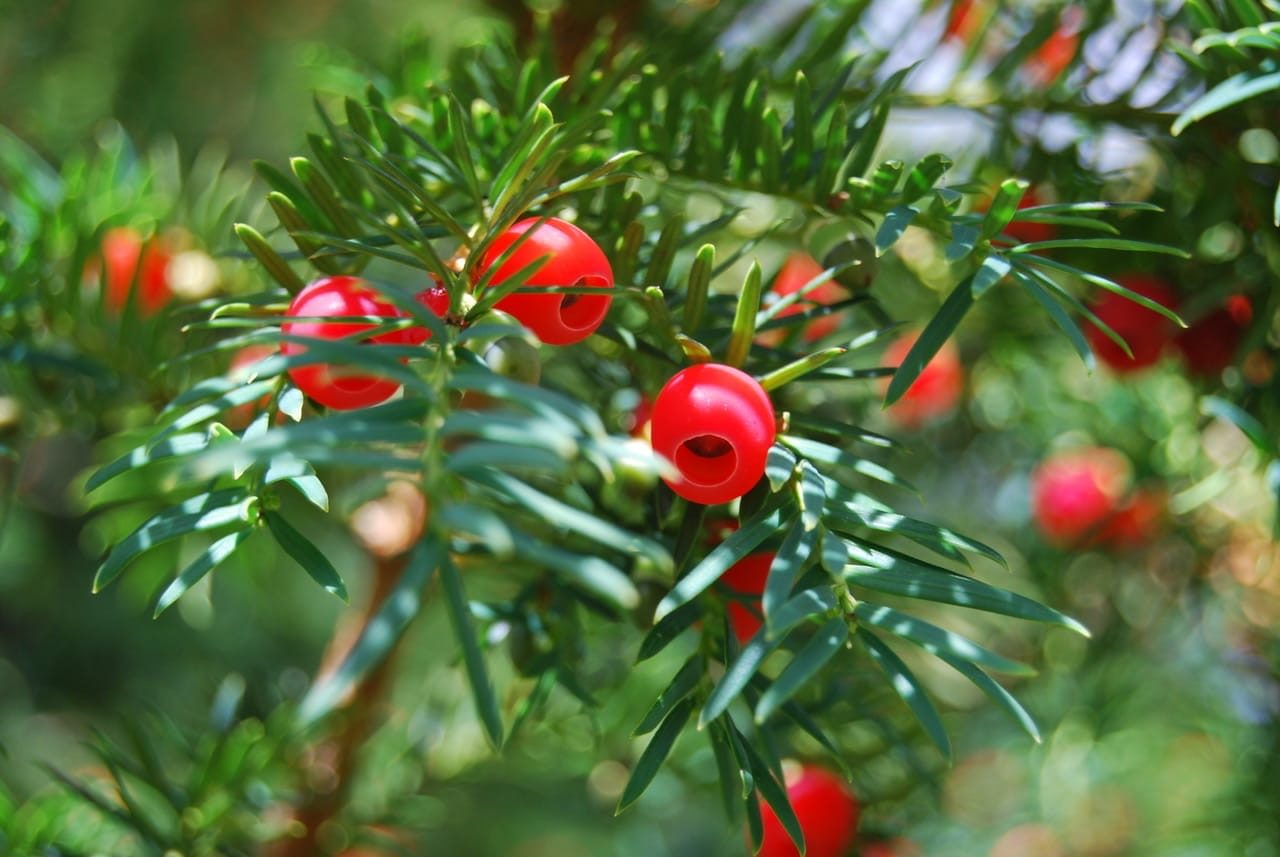 Yew-Berries-Lesley-Winrow